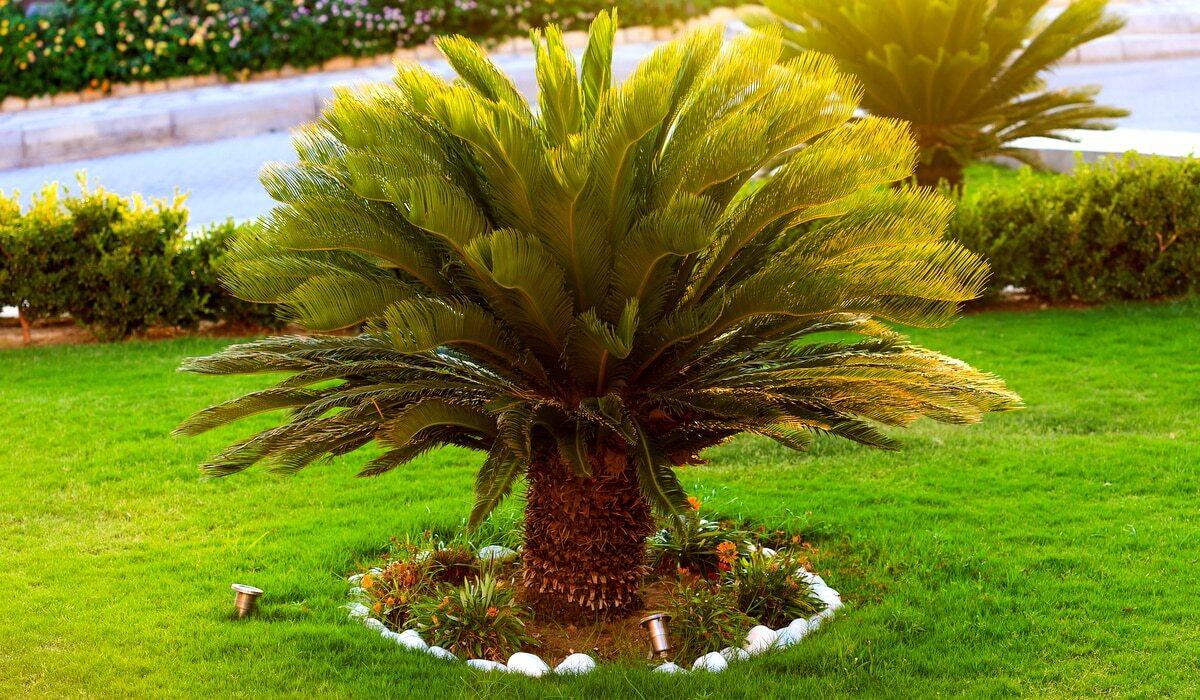 Palmeira Cica plantada em um gramado