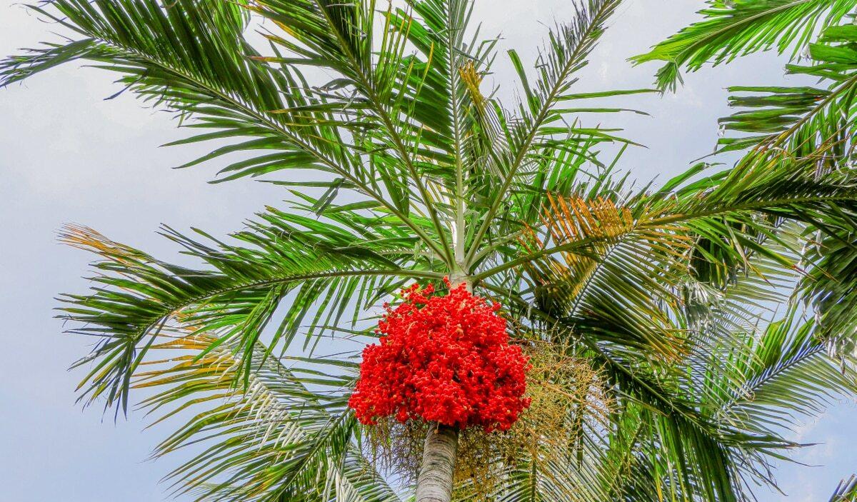 Palmeira de manila com frutificação vermelha e céu ao fundo