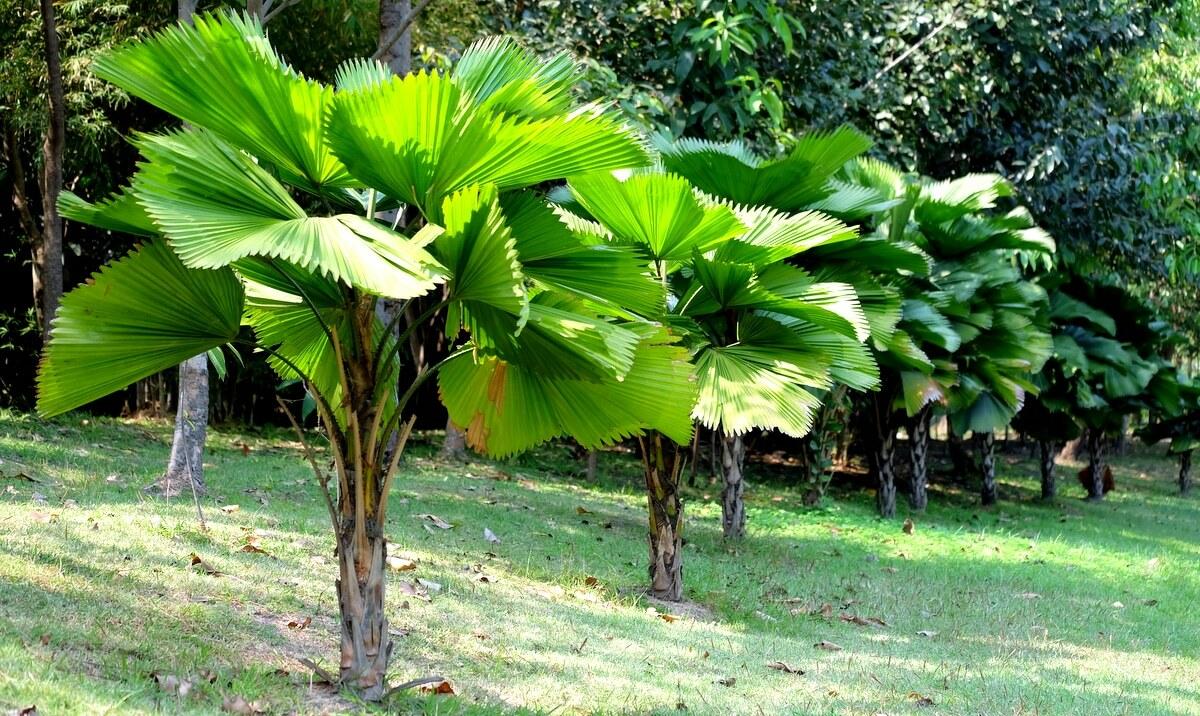 Plantas de palmeira licuala enfileiradas em um jardim