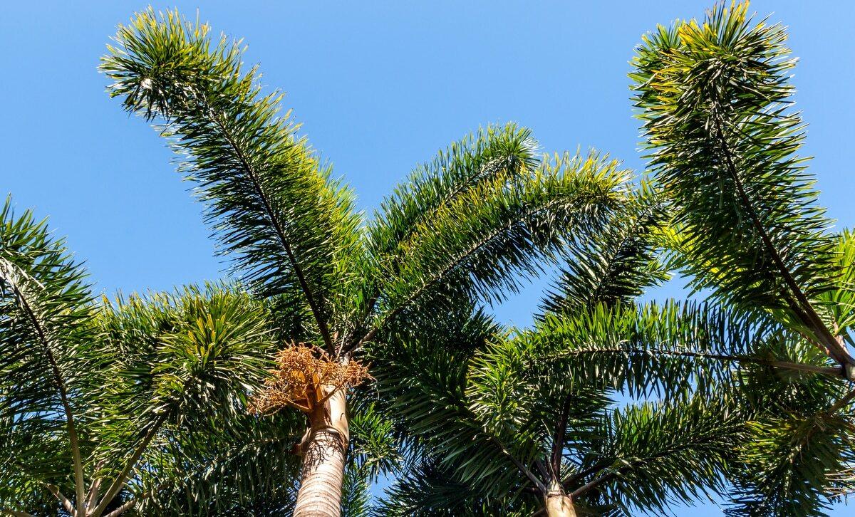 Folhagens de palmeiras Rabo de raposa com céu azul ao fundo