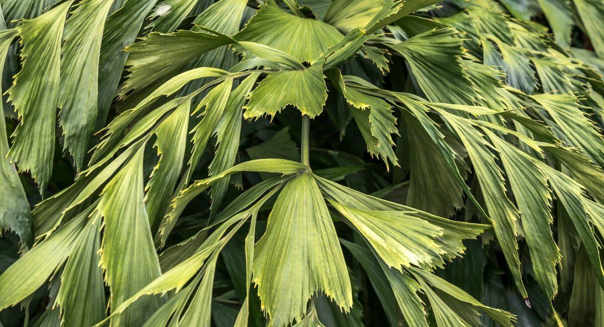 Detalhe da folhagem verde escura da palmeira rabo de peixe