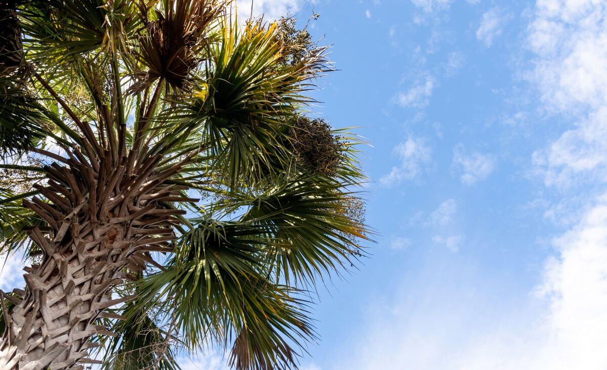 Palmeira Sabal da flórida com estipe trançado e folhas volumosas, céu azul com nuvens ao fundo