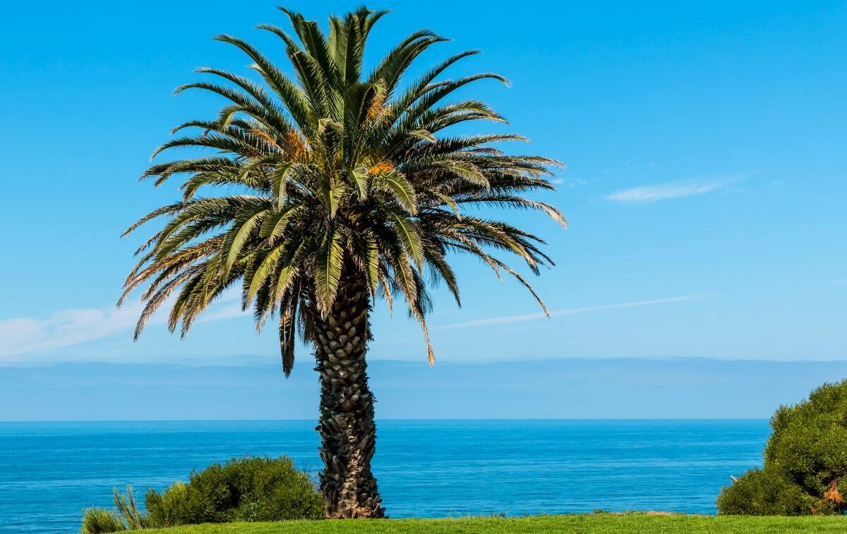 Palmeira tamareira das canárias em um gramado com o mar e o céu azul ao fundo