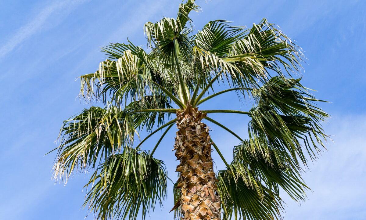 Palmeira Washingtonia de saia com seu estipe marcado e grandes folhas em leque