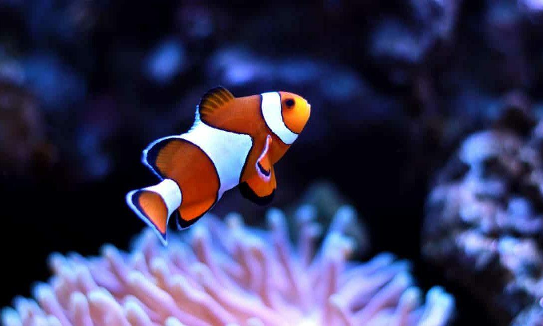 Peixe palhaço destaque da piscicultura ornamental