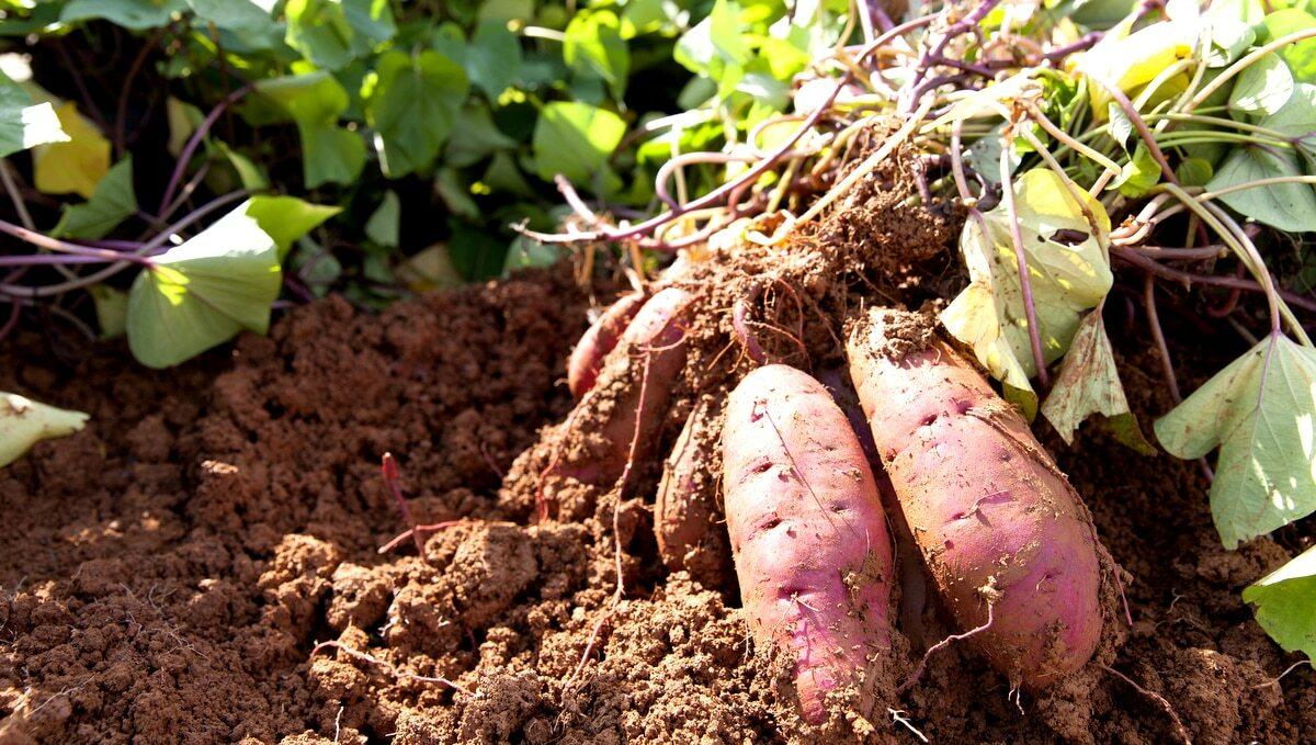 Plantio comercial de batata-doce