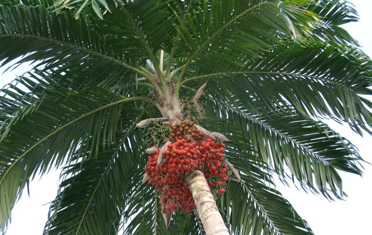 Palmeira pupunha com frutos vermelhos
