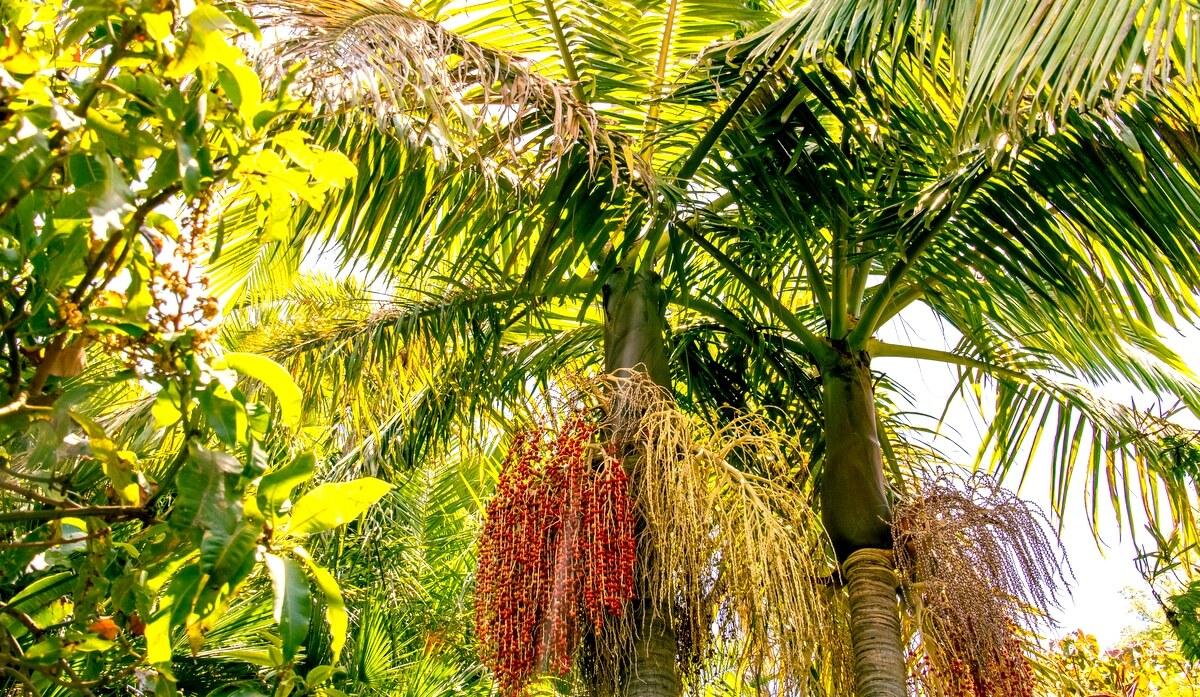 Palmeias do tipo Real com inflorescência e frutos.