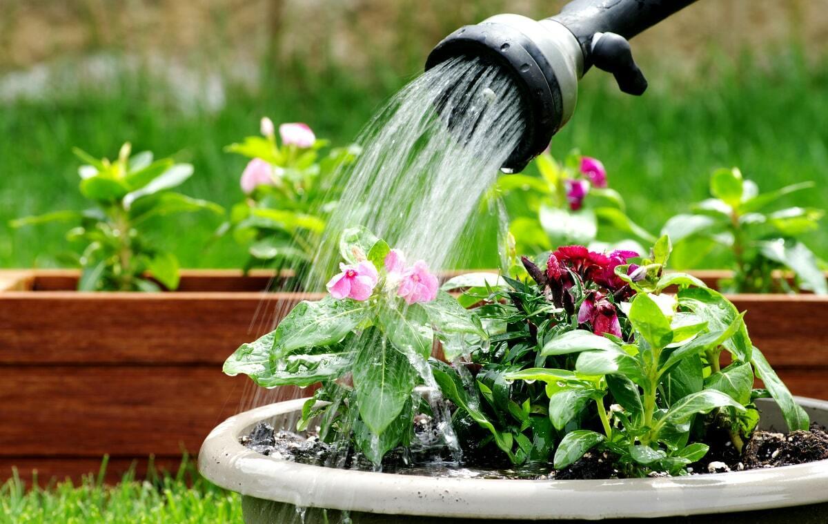 Regando vaso de plantas
