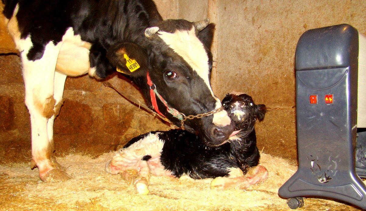 Vacas em lactação após o nascimento de bezerros