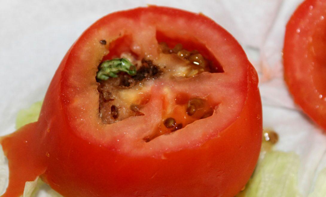 Praga Helicoverpa zea dentro de um tomate.
