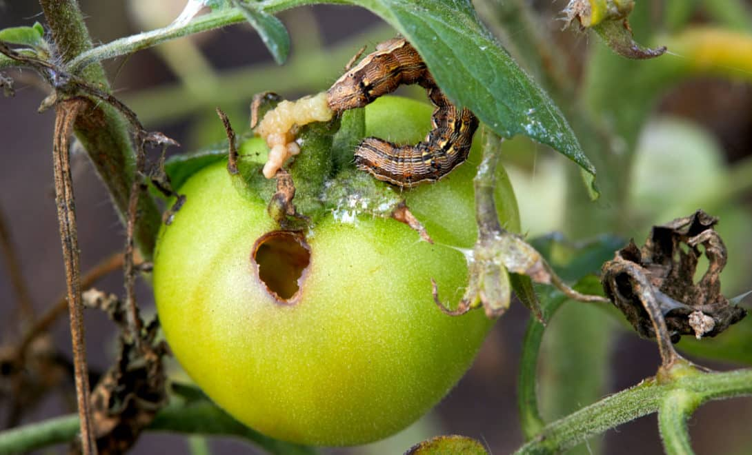 Conheça as principais pragas do tomateiro