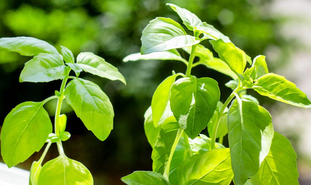 Manjericão comum, também chamado de manjericão doce ou branco