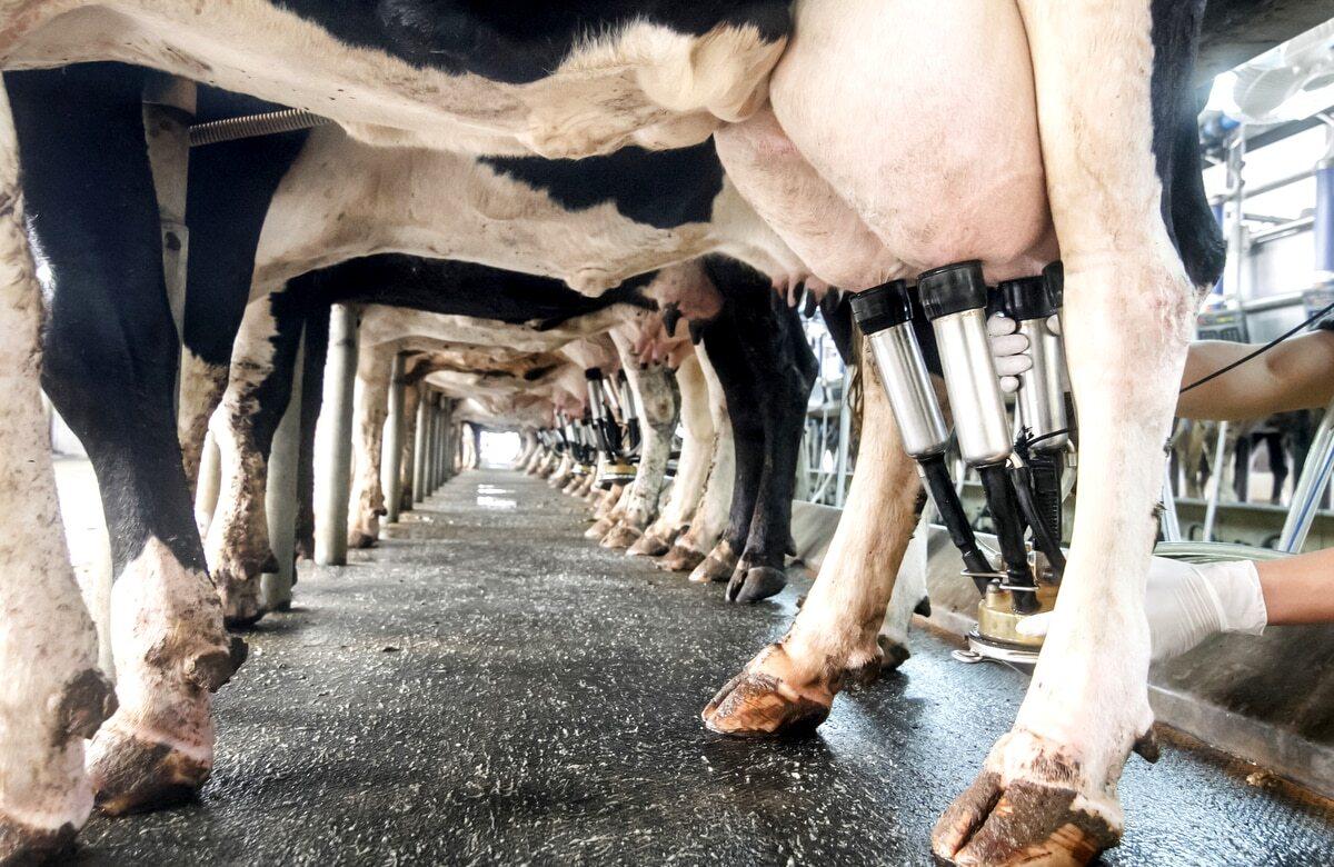 Ordenha de vacas leiteiras