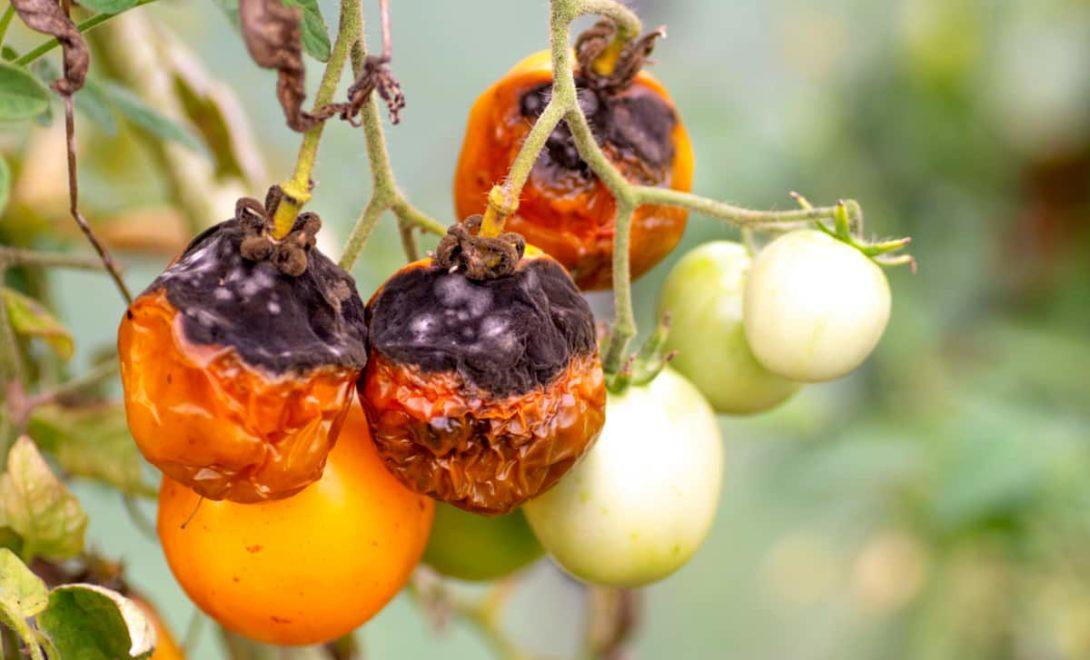 Tomate com sintomas da doença requeima, causada pelo fungo Phytophthora infestans