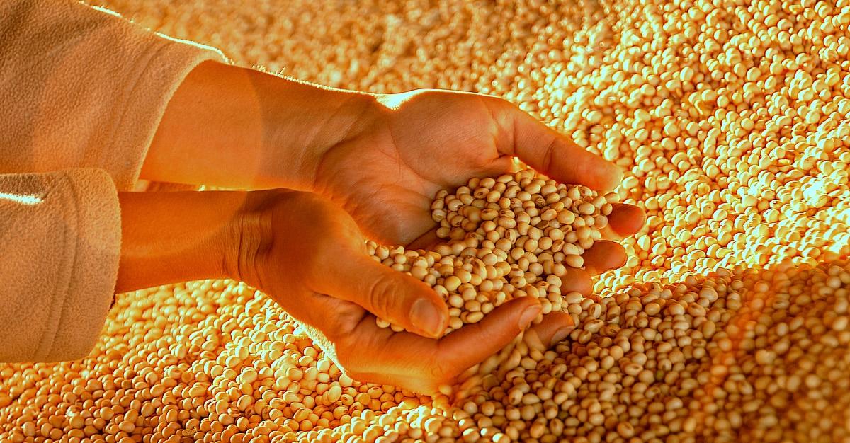 Homem segura punhado de grãos de soja para classificação